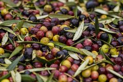 Olives harvested over a net during harvesting season to make olive oil, Priorat, Tarragona, Catalonia, Spain-7.CR2. Olives harvested over a net during harvesting royalty free stock photo