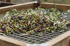 Olives harvested over a net during harvesting season to make olive oil, Priorat, Tarragona, Catalonia, Spain.  stock photography