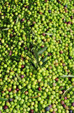 Olives harvesting. A pile of olives after the harvesting in an olive grove in Catalonia, Spain Stock Photography