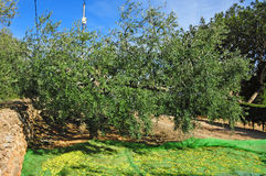 Olives harvesting. Harvesting olives in an olive grove in Catalonia, Spain Royalty Free Stock Photo