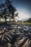 Olives harvesting Stock Image