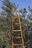 Olives harvesting Stock Images