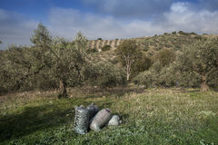 Olives harvesting Stock Photos