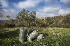 Olives harvesting Stock Images