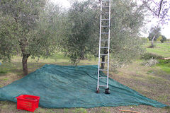 Olives harvesting in autumn Royalty Free Stock Image