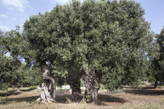 Free Olives In Salento And In Puglia Stock Photos - 59639423