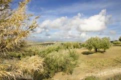 Olives landscape Stock Photography