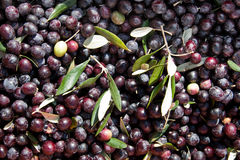Olives with leaves Stock Image