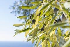 Olives mûres Photos stock
