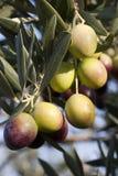 Olives mûres sur la branche de l'olivier Images libres de droits