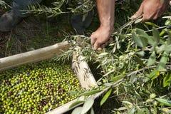 Olives moissonnées directement de l'arbre Images stock