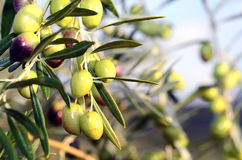 Olives in nature Stock Photography