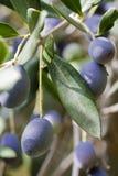 Olives noires sur l'arbre Photographie stock libre de droits