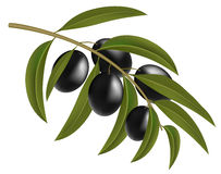 Olives noires sur la branche Photo stock