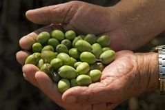 Olives in old man's hand. Pile of green olives in old man's hand Royalty Free Stock Photo