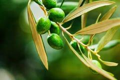 Green Olives on the Branch. Olives olive branch leaves green olives branch olive italy Stock Photo