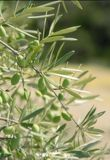Olives, olive tree. Detail of green olives on branches of olive tree Stock Photo