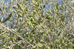 Olives in the olive tree Stock Photography
