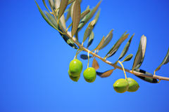 Olives on an olive tree Royalty Free Stock Photography