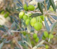 Branch of green olives Stock Photo