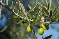 Olives on olive tree in autumn. Season nature image Royalty Free Stock Photo