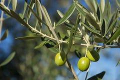 Olives on olive tree in autumn. Season nature image Royalty Free Stock Photo