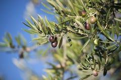 Olives on olive tree in autumn. Season nature image Stock Image