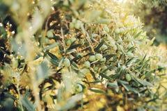 Olives on olive tree in autumn Stock Photo