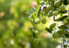 Olives on olive tree in autumn. Olive tree and olives swaying on leaves, green background stock images