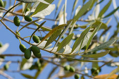 Olives in an olive tree Royalty Free Stock Image