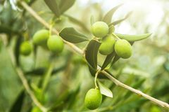 Olives and olive tree branch in autumn.  Agricultural food background concept. Royalty Free Stock Photos