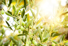 Olives on olive tree branch. Detail closeup of Green olives fruits with selective focus and shallow depth of field Royalty Free Stock Photos