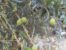 Olives stock video footage