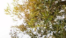 Olives on olive tree Royalty Free Stock Photo
