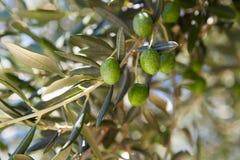 Olives on olive tree Royalty Free Stock Image