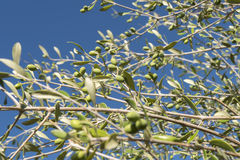 Olives in the olive tree Stock Photos