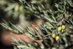 Olives on olive tree at sunset near Jaen Royalty Free Stock Images