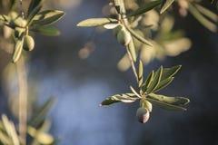 Olives on olive tree at sunset near Jaen Royalty Free Stock Photography