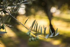 Olives on olive tree at sunset near Jaen Royalty Free Stock Image