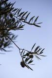 Olives on olive tree at sunset near Jaen Stock Photography