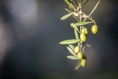 Olives on olive tree at sunset near Jaen Stock Photo