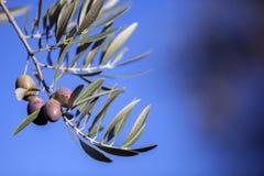 Olives on olive tree at sunset near Jaen Royalty Free Stock Photo