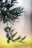 Olives on olive tree at sunset near Jaen Stock Images