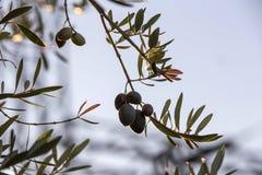 Olives on olive tree at sunset near Jaen Stock Photos