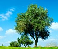 The Olives. The olive trees on the background of the cloudy sky Royalty Free Stock Image