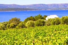 Olives, olive trees, grapevine and vineyards of Dalmatian island Brac, Croatia Royalty Free Stock Images