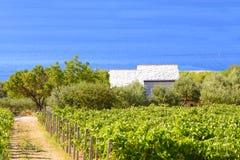 Olives, olive trees, grapevine and vineyards of Dalmatian island Brac, Croatia Royalty Free Stock Photo