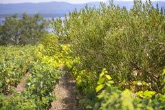 Olives, olive trees, grapevine and vineyards of Dalmatian island Brac, Croatia Stock Image