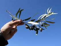 Free Olives On A Branch Stock Photo - 4405290