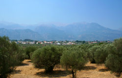 Olives orchard in Greece Stock Photos